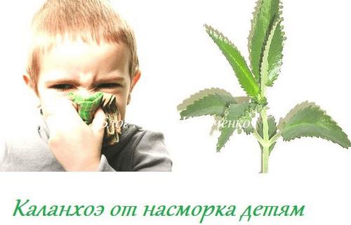 Каланхоэ детям